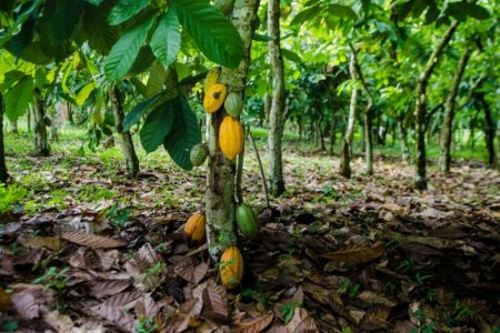 The Voice Network raises concerns over cocoa farmer payments
